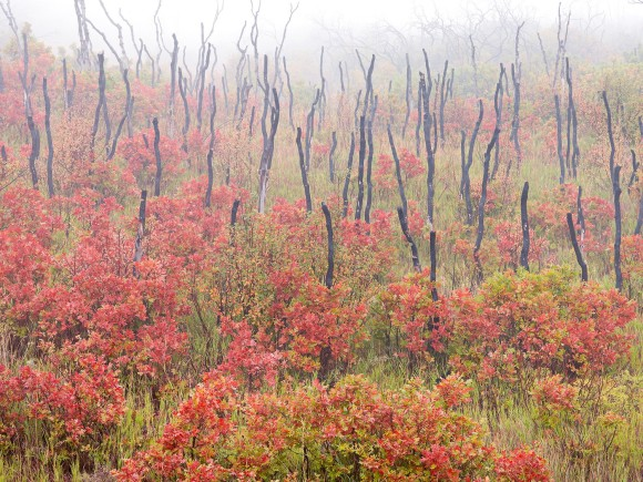 Oaks and Fire Oaks in Fog