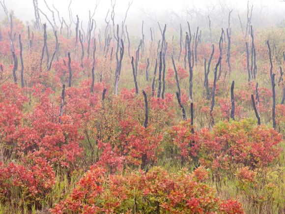 Oaks and Fire Oaks in Fog