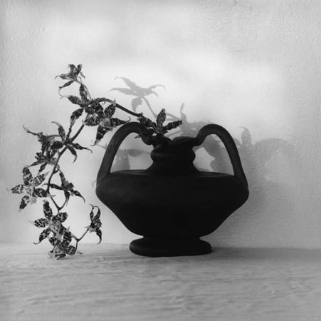 Robert Mapplethorpe, Orchid, 1980