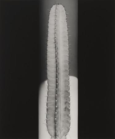 Robert Mapplethorpe, Cactus, 1987