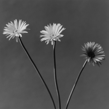 Robert Mapplethorpe, African Daisy, 1982