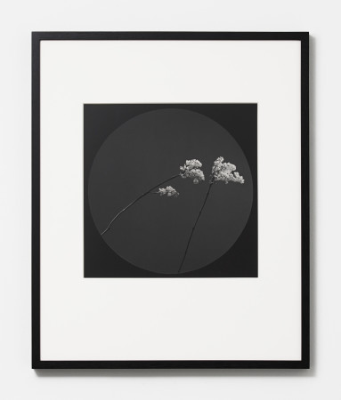 Robert Mapplethorpe, Flower, 1984