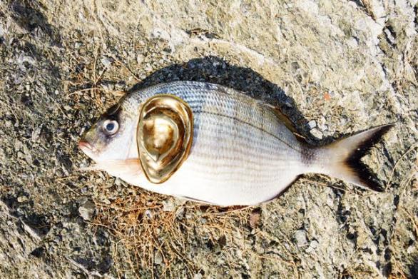 Juergen Teller, Hydra Fish with Ear, 2013