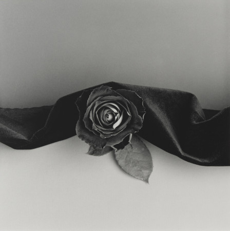 Robert Mapplethorpe, Rose, 1987