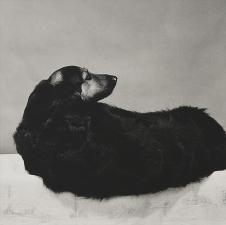 Robert Mapplethorpe, Muffin, 1981