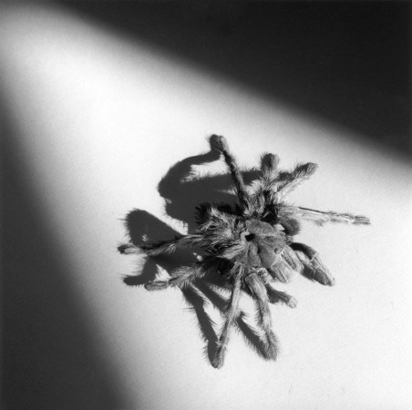 Robert Mapplethorpe, Tarantula, 1988