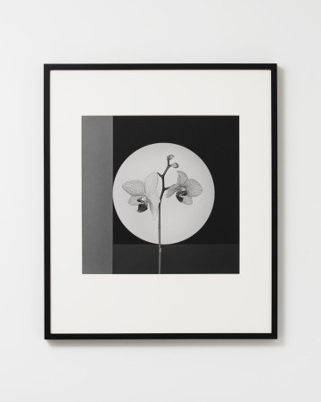 Robert Mapplethorpe, Orchid, 1988