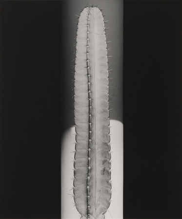 Robert Mapplethorpe, Cactus, 1987