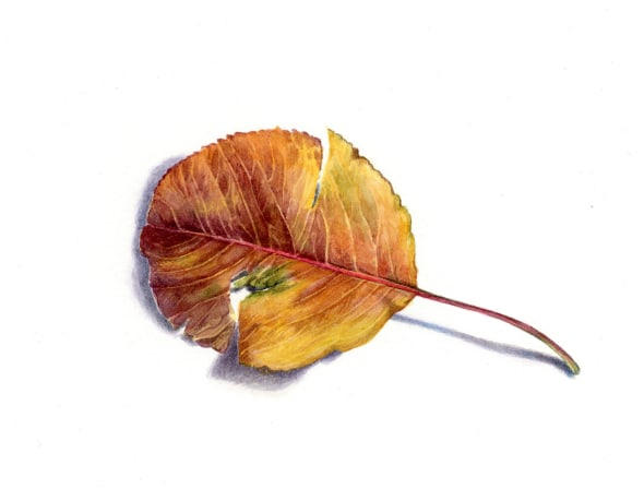 Leaf from the Pear Tree