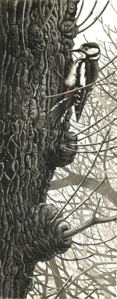 SWLA Great Spotted Woodpecker