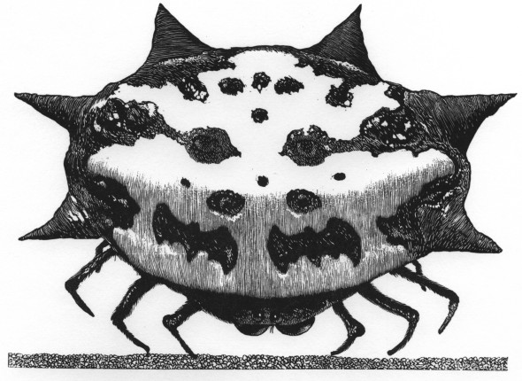 Spiny Oreb Weaver Spider