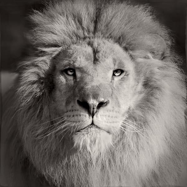 Jan Gulfoss, Lion, c. 2013-2016