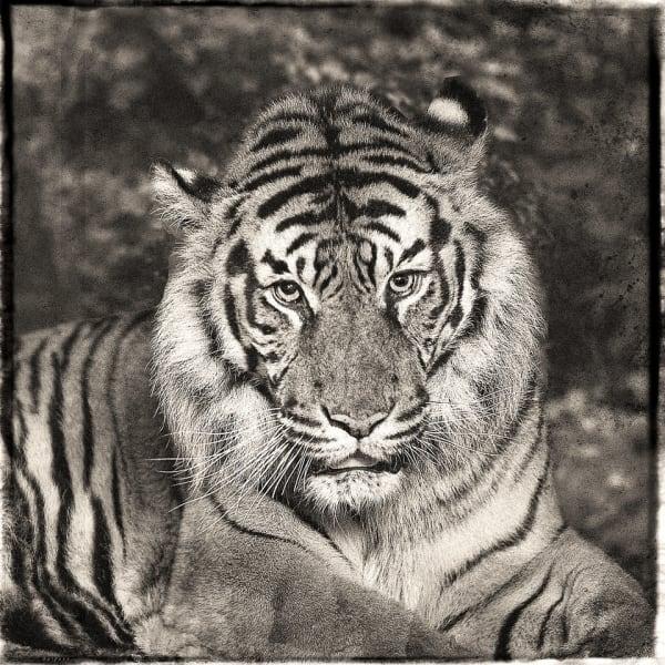 Jan Gulfoss, Sumatra Tiger