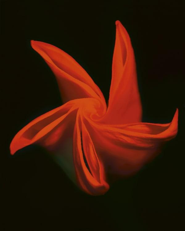 Untitled (Datura Flowers)