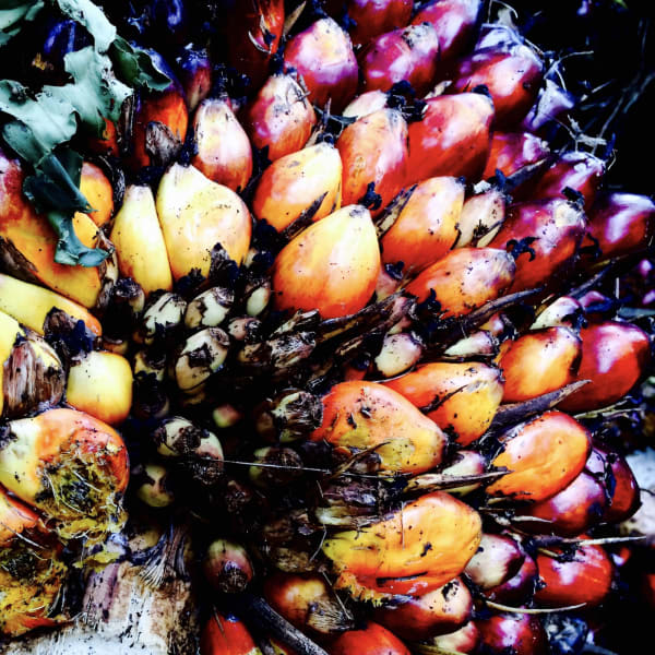 A fruit of the oil palm (Elaeis guineensis) in North Sumatra, Indonesia