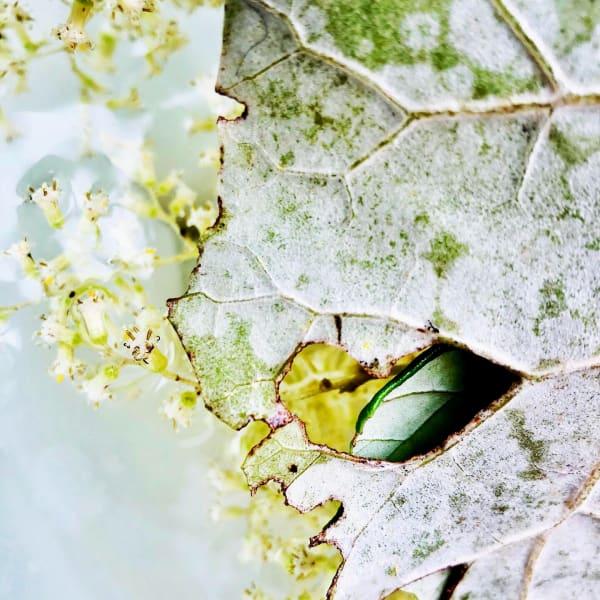 Rangiora (Brachyglottis repanda) by Mamakan