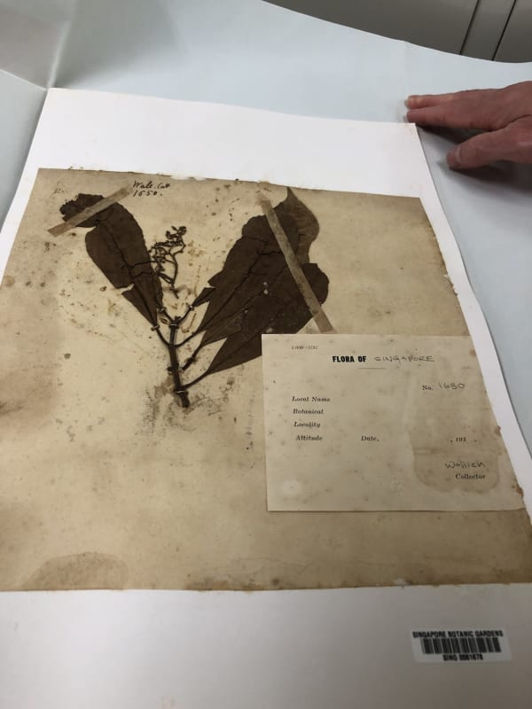 A rare specimen from 1822 collected by Nathaniel Wallich in Singapore