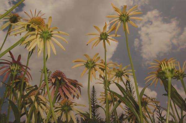 Tony Mendoza, 09.075 (Yellow & Pink Coneflower), 2005