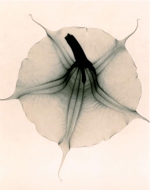 Judith McMillan, Brugmansia x Candida (Angel's Trumpet)