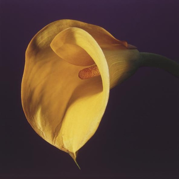 Robert Mapplethorpe - Calla Lily, 1987
