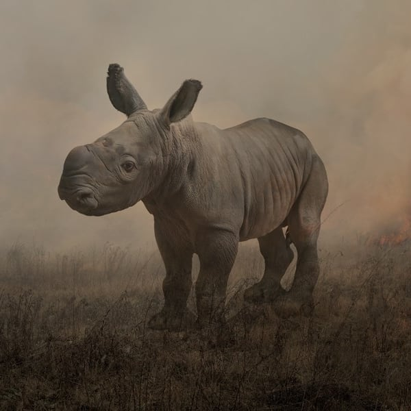 Rory Carnegie - Alan, White Rhinoceros - One day old, 2018