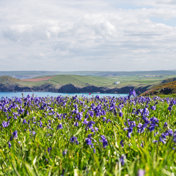 Nick Wapshott, Bluebells Over Lundy