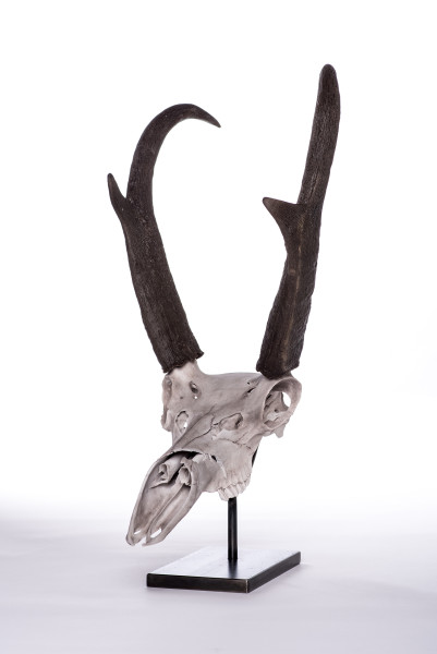 Evelyn Gottschall Baker, Pronghorn Skull, 2019