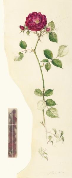 Kate Nessler, Red Rose