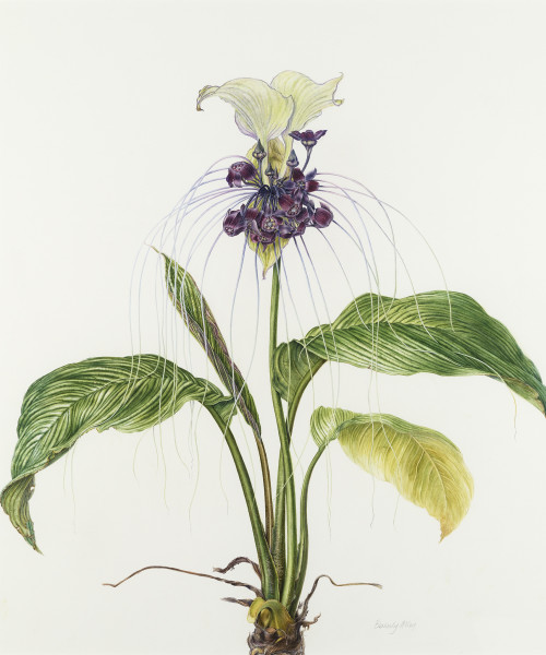 Beverly Allen, White bat flower - 'Tacca integrifolia'