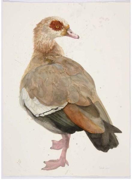 Roland Corbin, Egyptian Goose