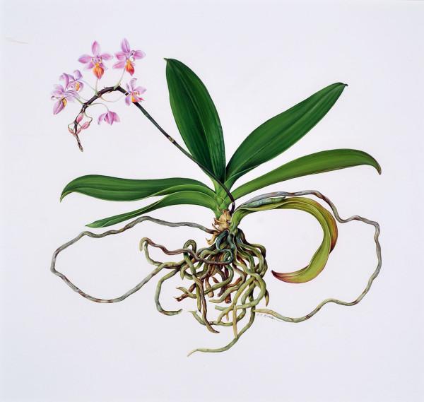 Kate Nessler, Phalaenopsis Equestris, 1995