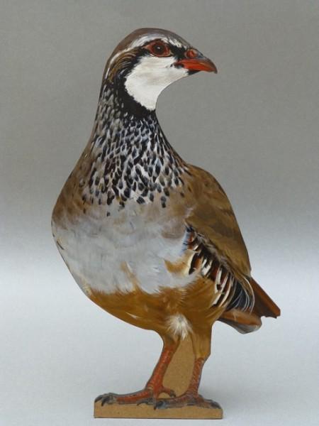 Camilla Clutterbuck, Red-legged Partridge