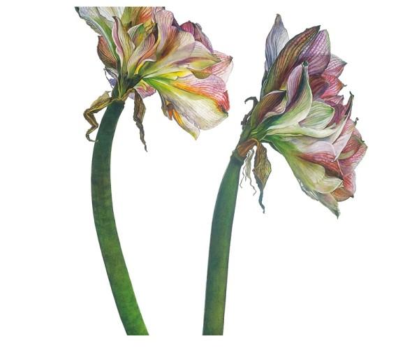 Rosie Sanders, Amaryllis 'Apple Blossom'