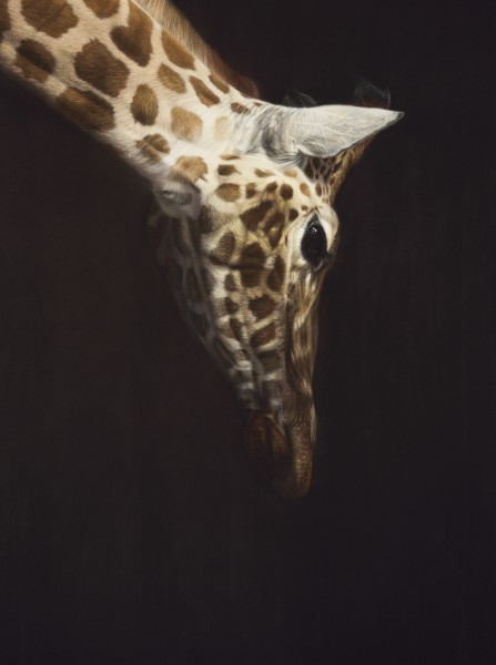 Gary Stinton, Rothschild's Giraffe - Head Inclined
