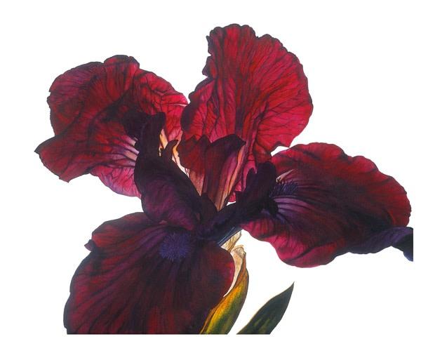 Rosie Sanders, Iris Series 4