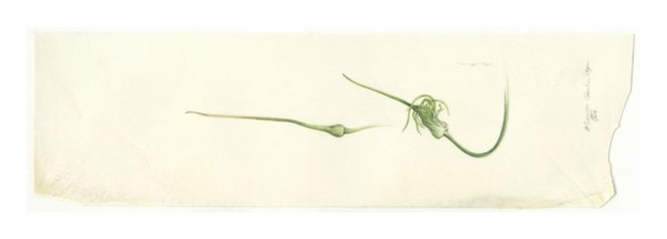 Kate Nessler, Garlic