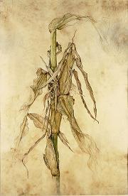 Kate Nessler, Corn