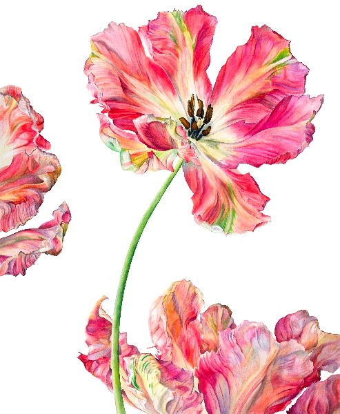Rosie Sanders, Parrot Tulip Fantasy