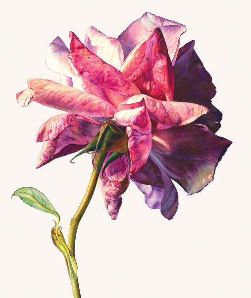 Rosie Sanders, Sue's rose