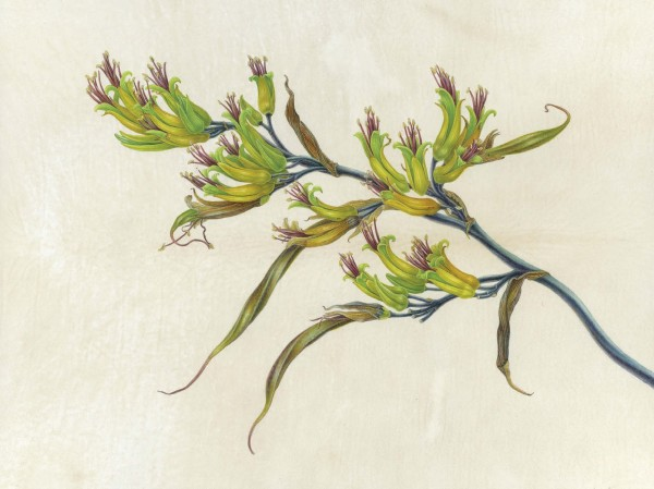 Carol Woodin, Phormium sp. (New Zealand Flax)