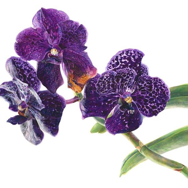 Rosie Sanders, Vanda Orchid II