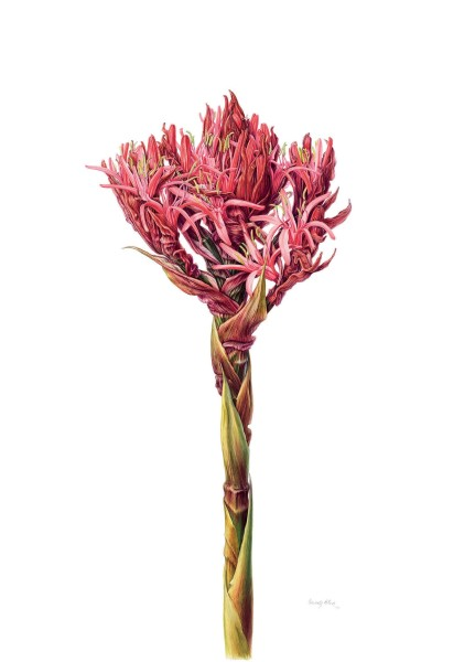 Beverly Allen, Gymea Lily (Doryanthes excelsa)