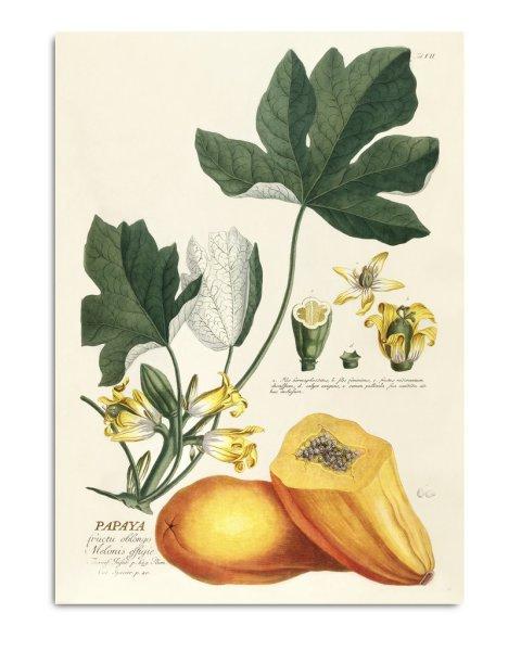 Unframed Prints, Papaya 3722