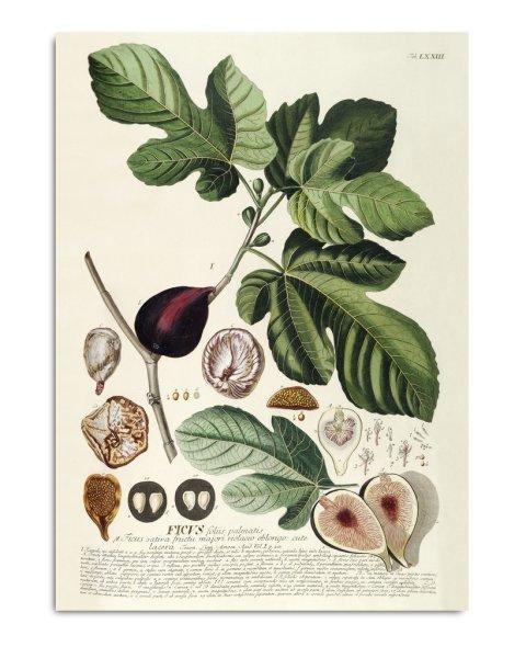 Unframed Prints, Ficus 3714