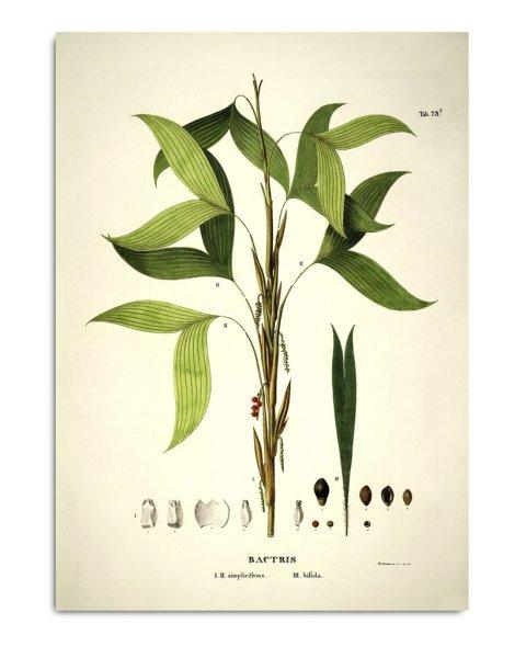 Unframed Prints, Bactris Simplicifrons & Bifida 3524