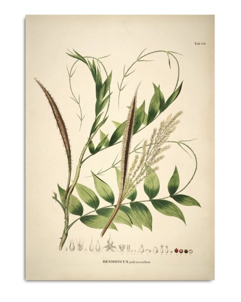 Unframed Prints, Desmoncus Polycanthos 3513
