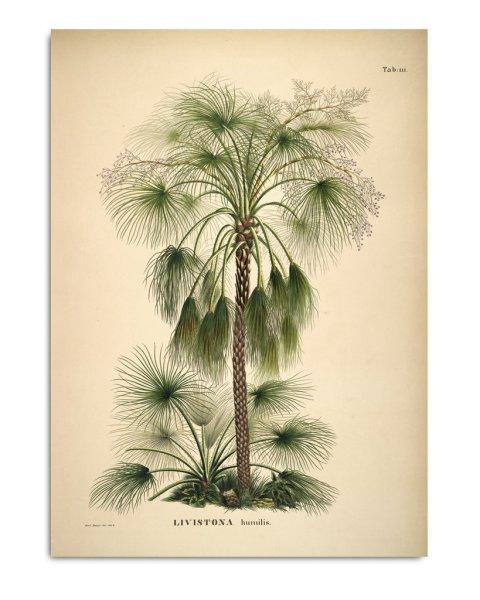 Unframed Prints, Livistona Humilis 3507