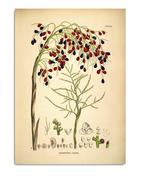 Framed Prints, Livistona Humilis 3522