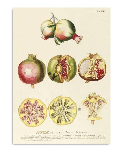 Unframed Prints, Punicæ 3723