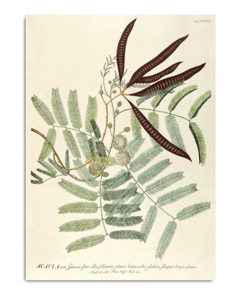 Unframed Prints, Acacia 3708